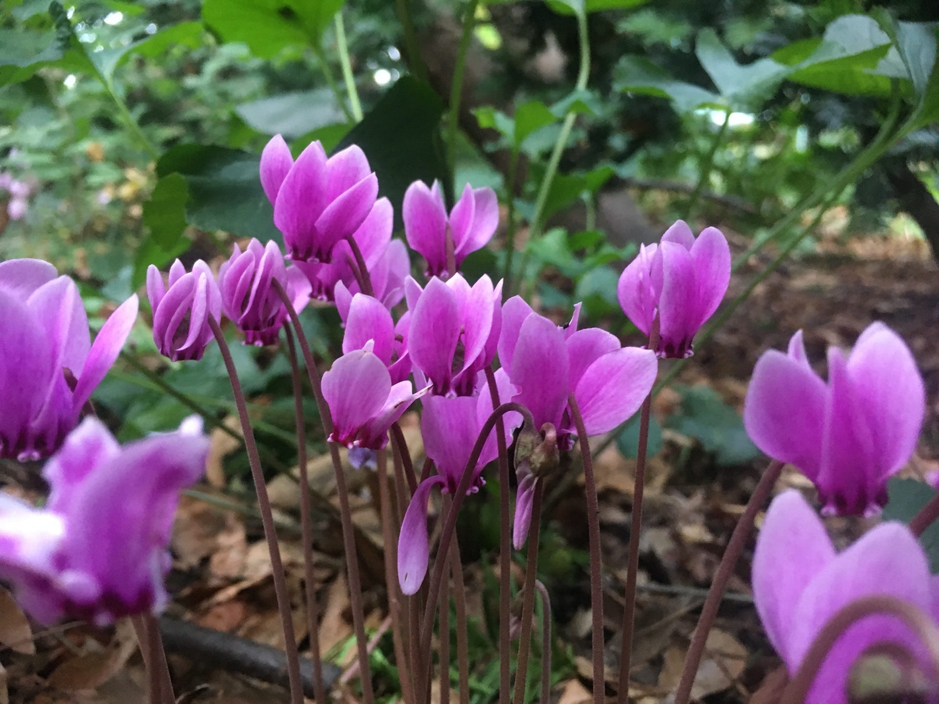 The flowers of Cyclamen hederifolium are like small jewels in the park.