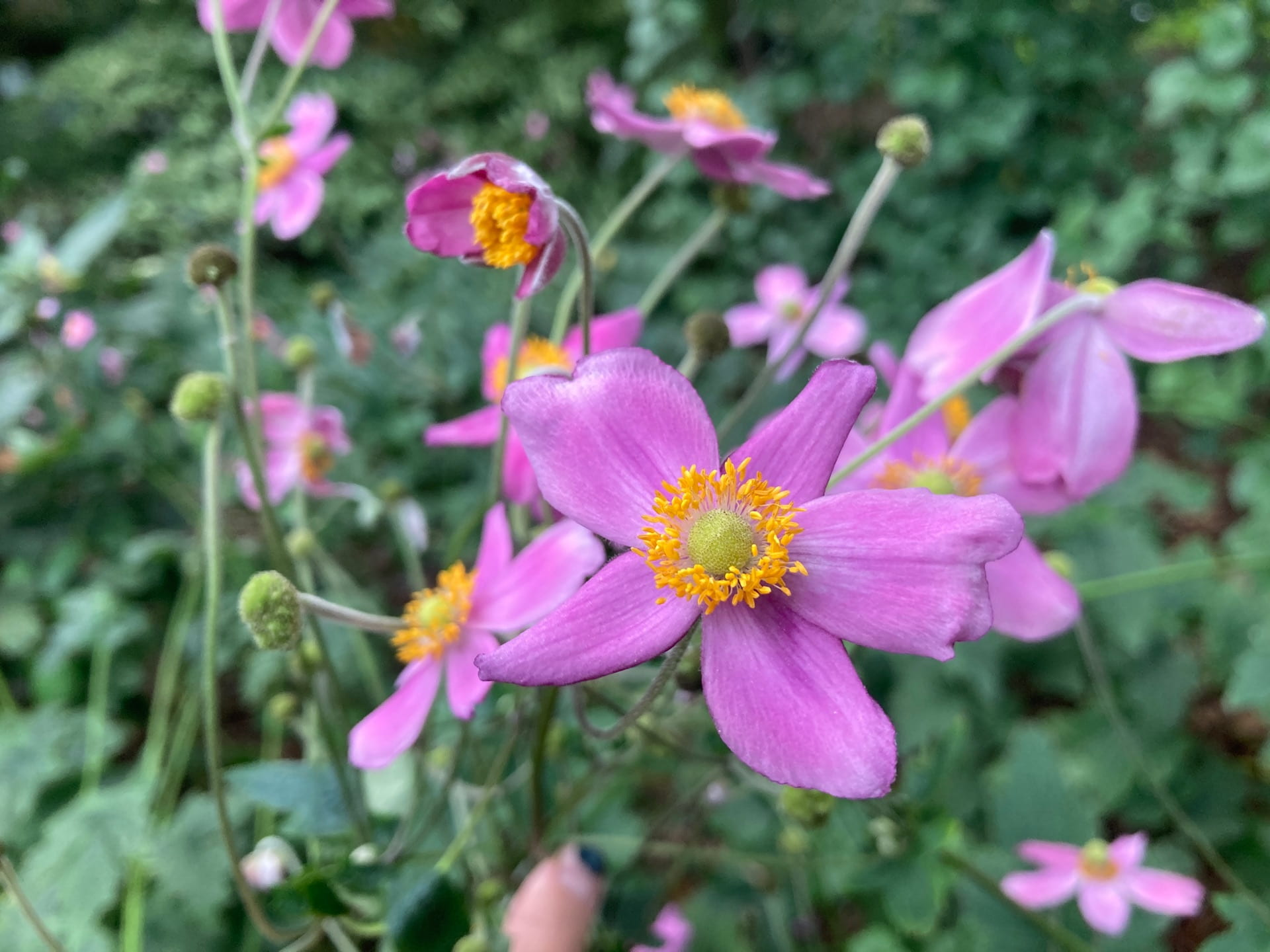 Eriocapitella hupehensis, the Japanese anemone, bloom in a spectrum of pinks and whites.