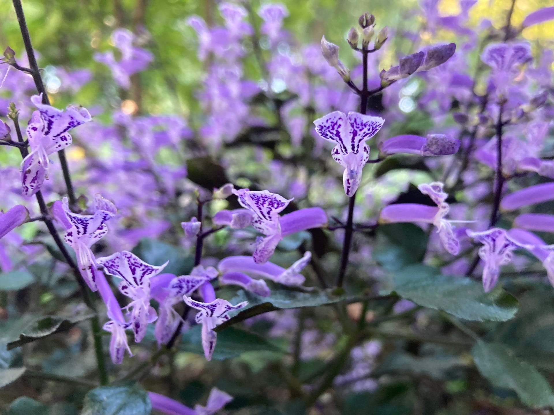 Plectranthus 'Mona Lavender' while not hardy, is easily propagated via cuttings every fall for the next year.