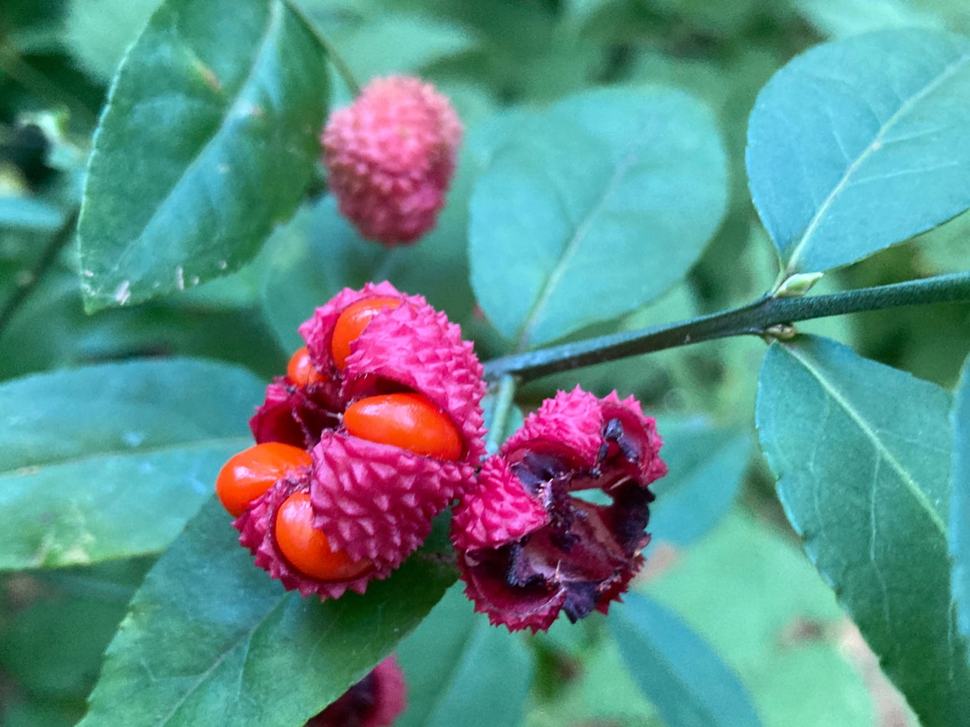 The showy fruit on this native Euonymus, Euonymus americanus, gives it the common name American strawberry bush.