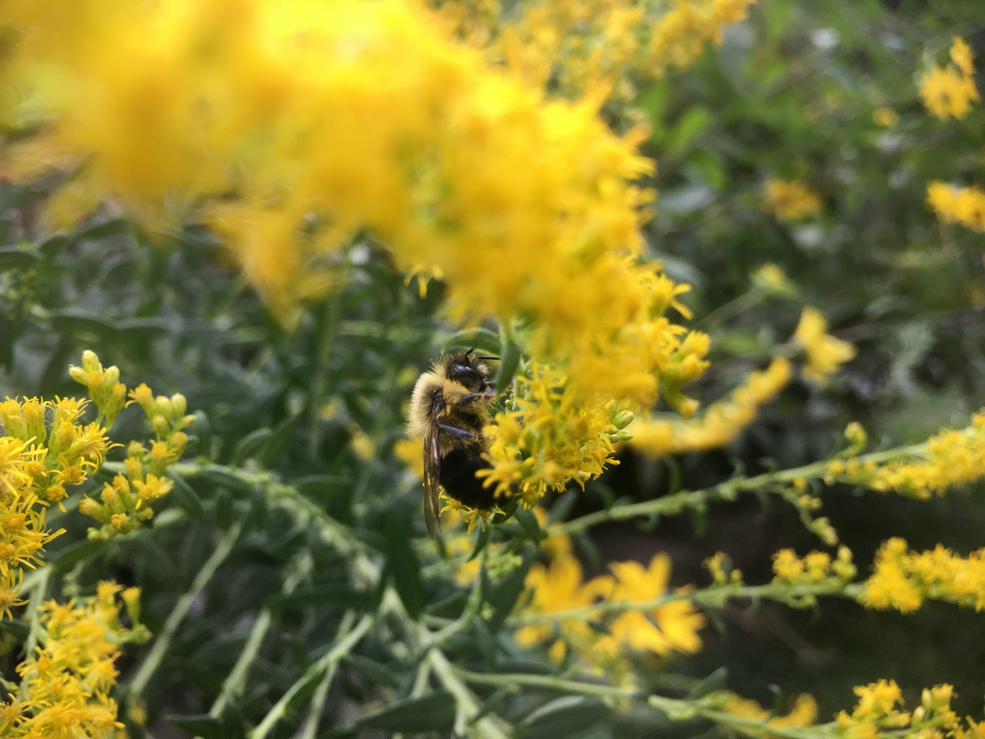 A bumble bee visits Solidago flowers.