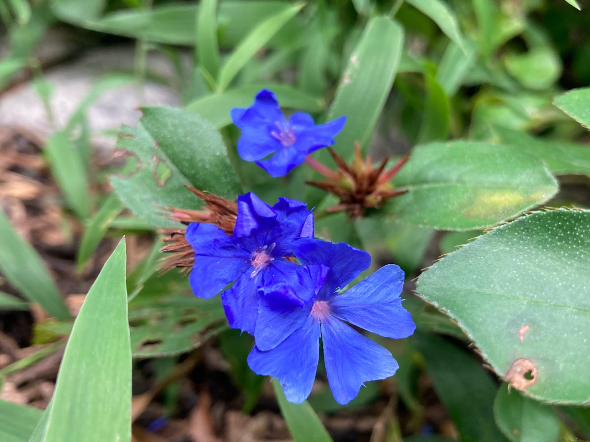 True blue flowers are very rare in nature, Ceratostigma plumbaginoides happily grows in our region.