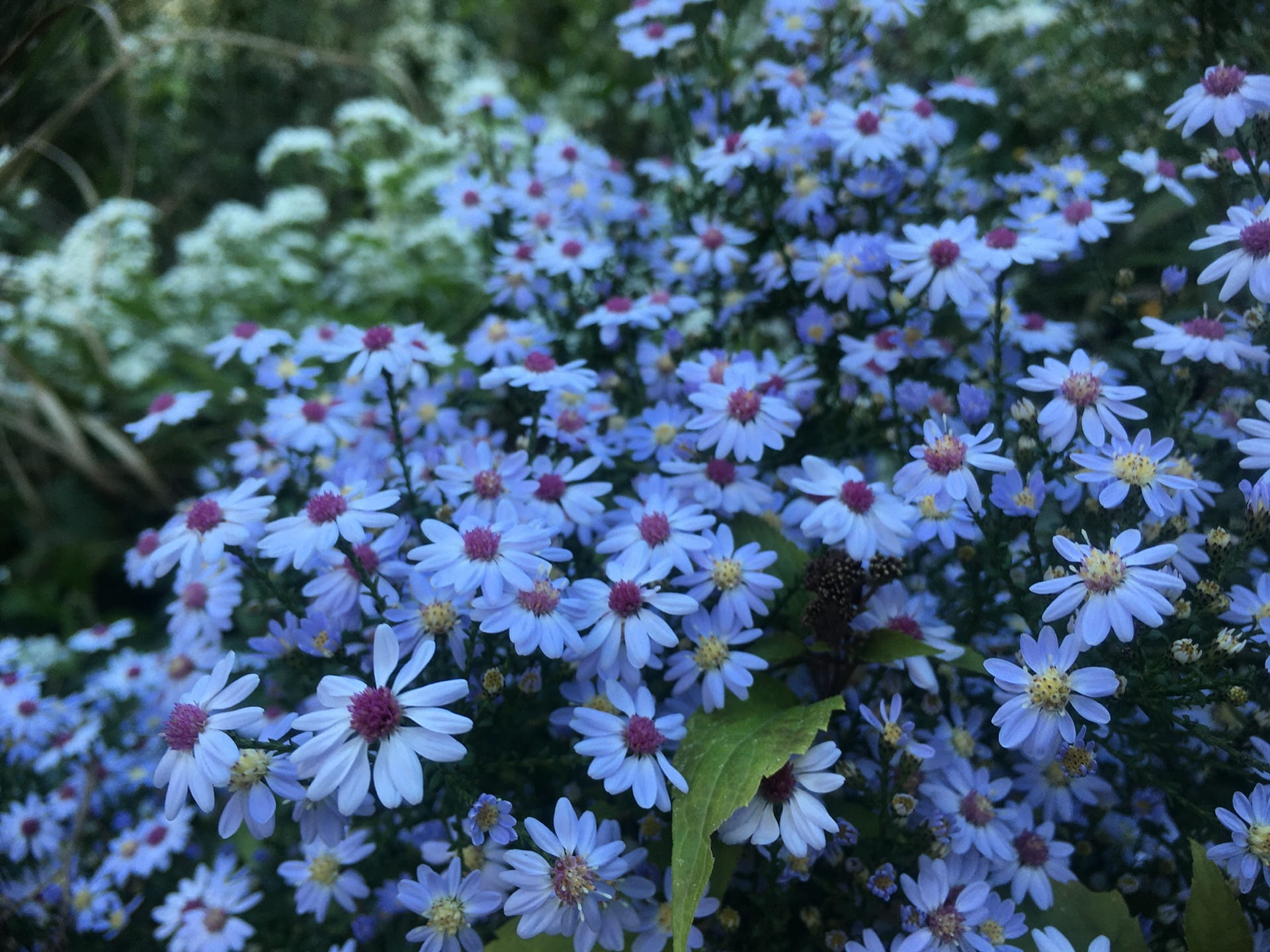 The small flowers of Symphyotrichum cordifolium putting on a show.