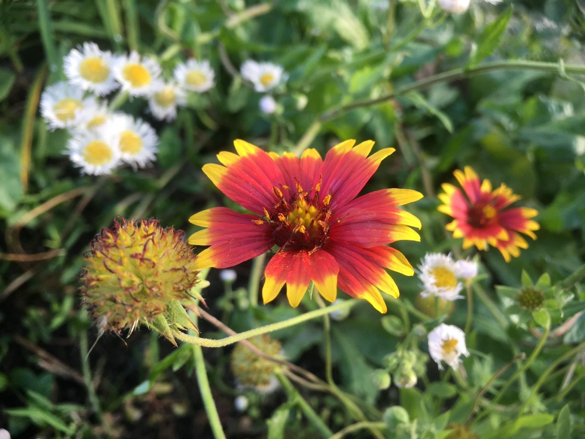 Gaillardia pulchella blooms scramble through Erigeron Philadelphicus.