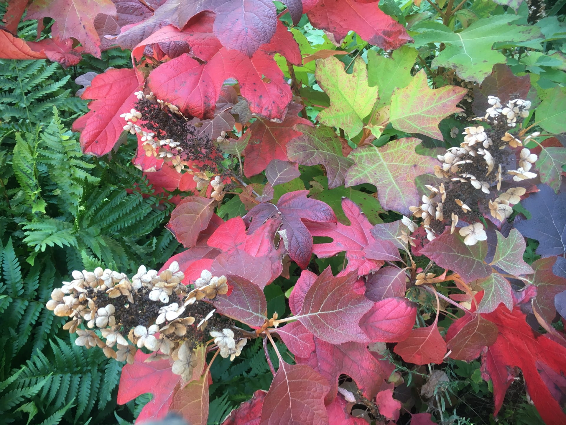 The fall color and long lasting flowers of Hydrangea Quercifolia makes this native shrub an invaluable inhabitant of the park.
