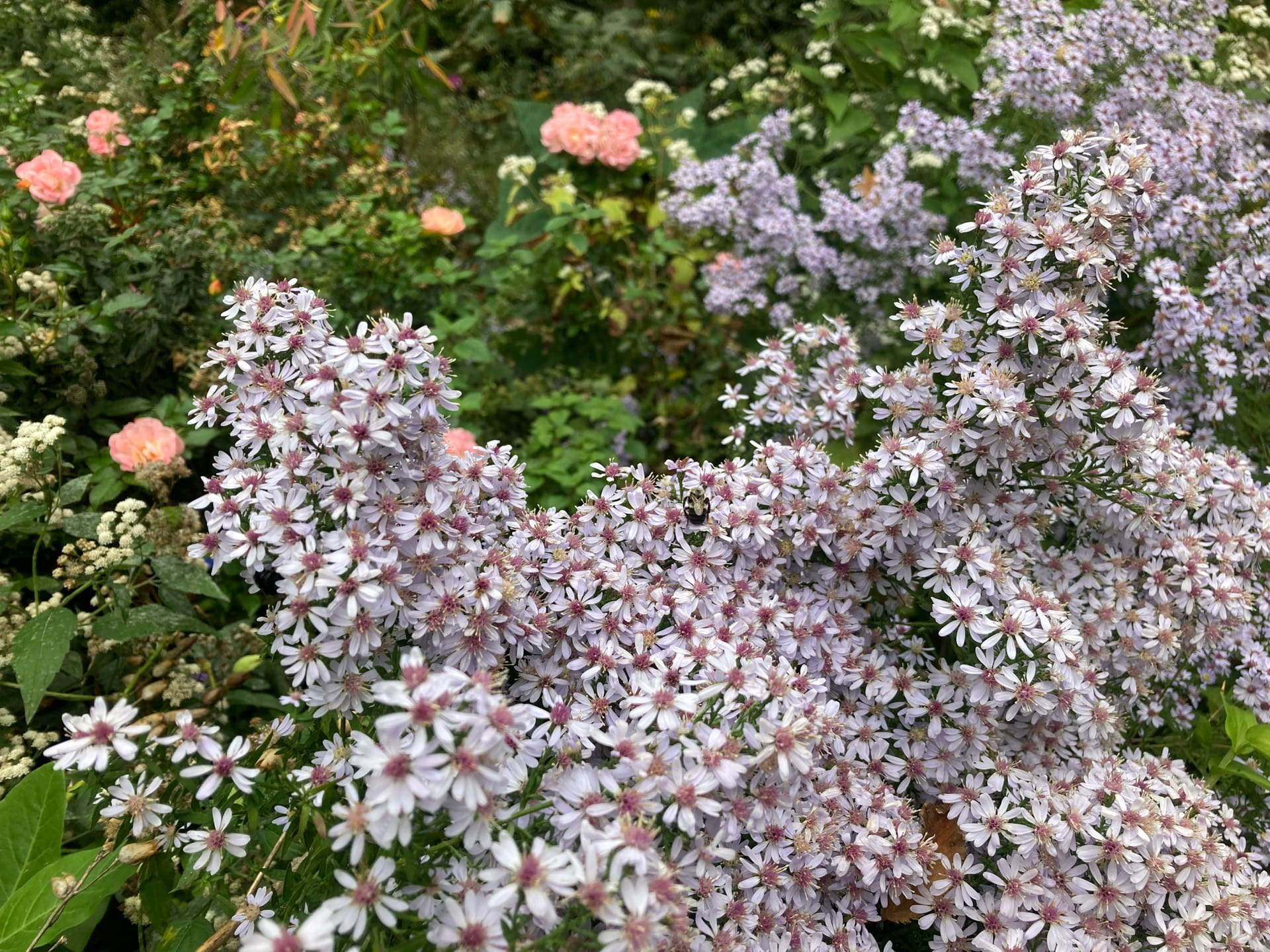Aster cordifolius, with a profusion of tiny blooms, is supported by Rosa 'Meiggilli' PEACH DRIFT.