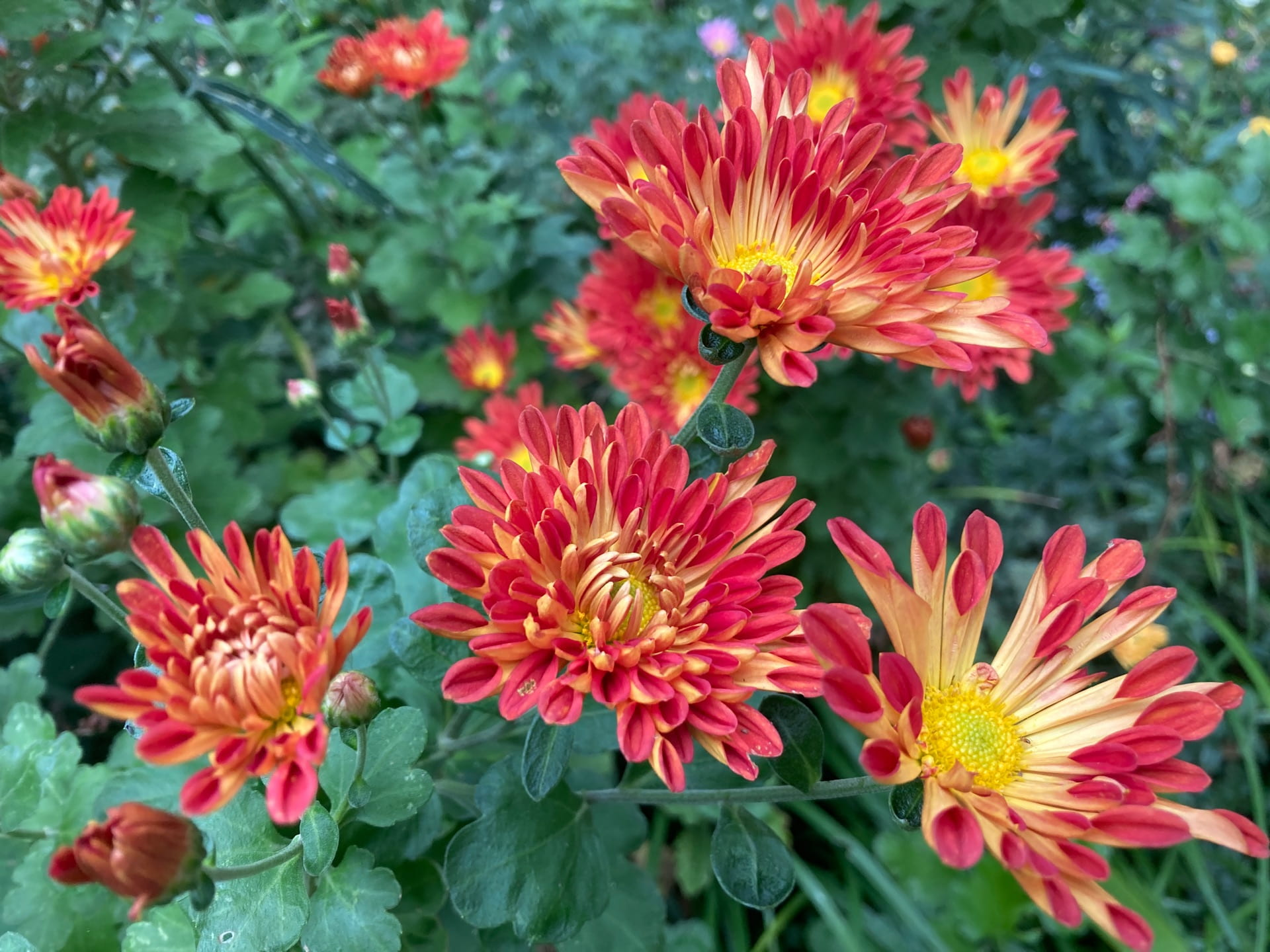 This Chrysanthemum with spooned and quilled petals contains a spectrum of fall colors.