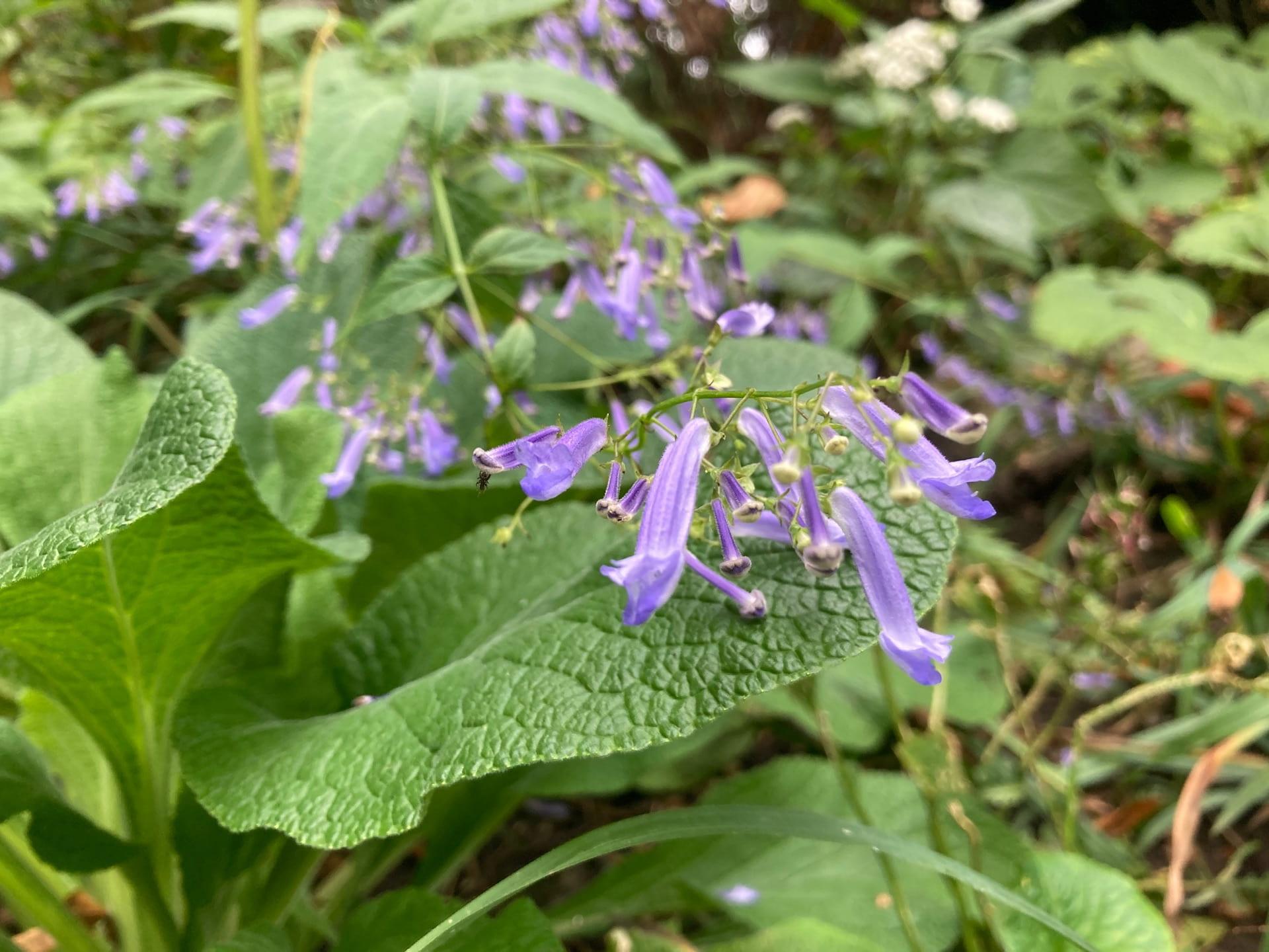 Blue drop-like flowers of Rabdosia longituba cascade down the waterfall slope.