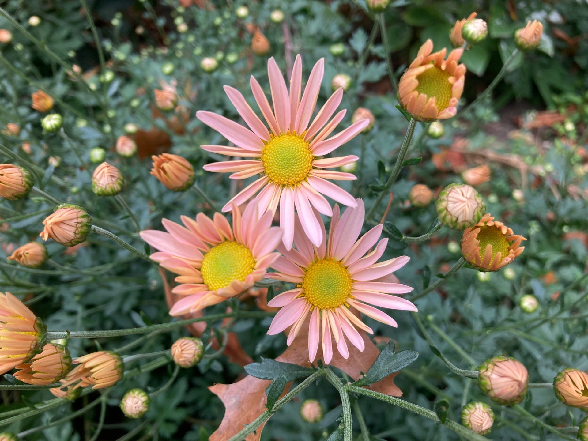 Chrysanthemum 'Hillside Sheffield Pink' flower buds just beginning to open.