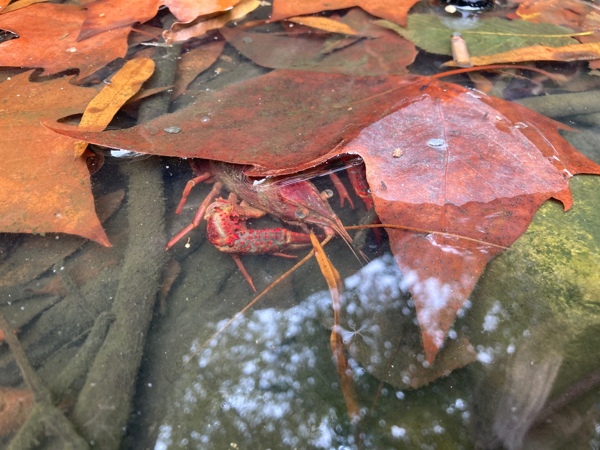 In the pond a cray fish tries to hide under a leaf.