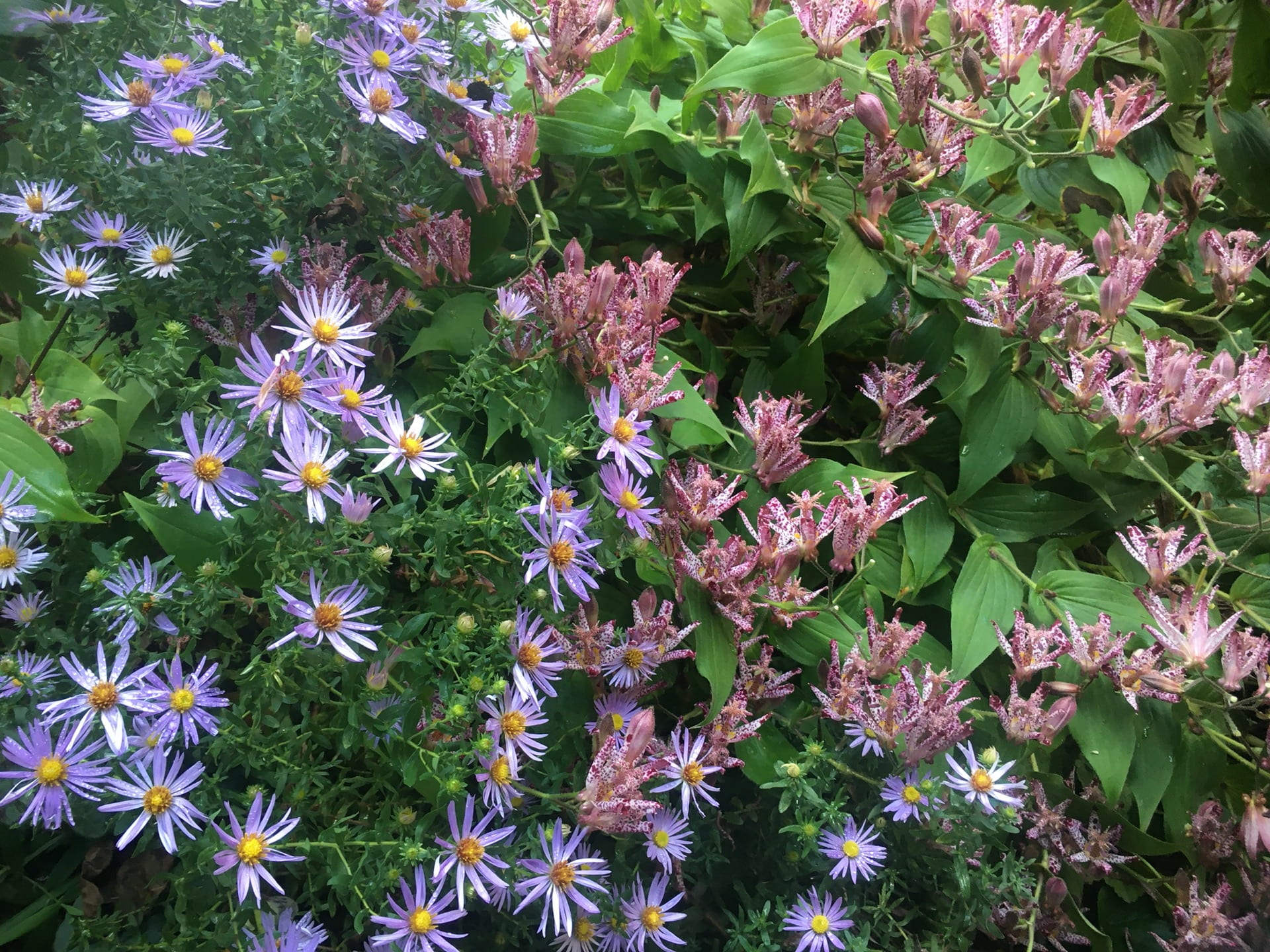 Late season blooms of Tricyris formosana mingle with those of Symphyotrichum novae-angliae.