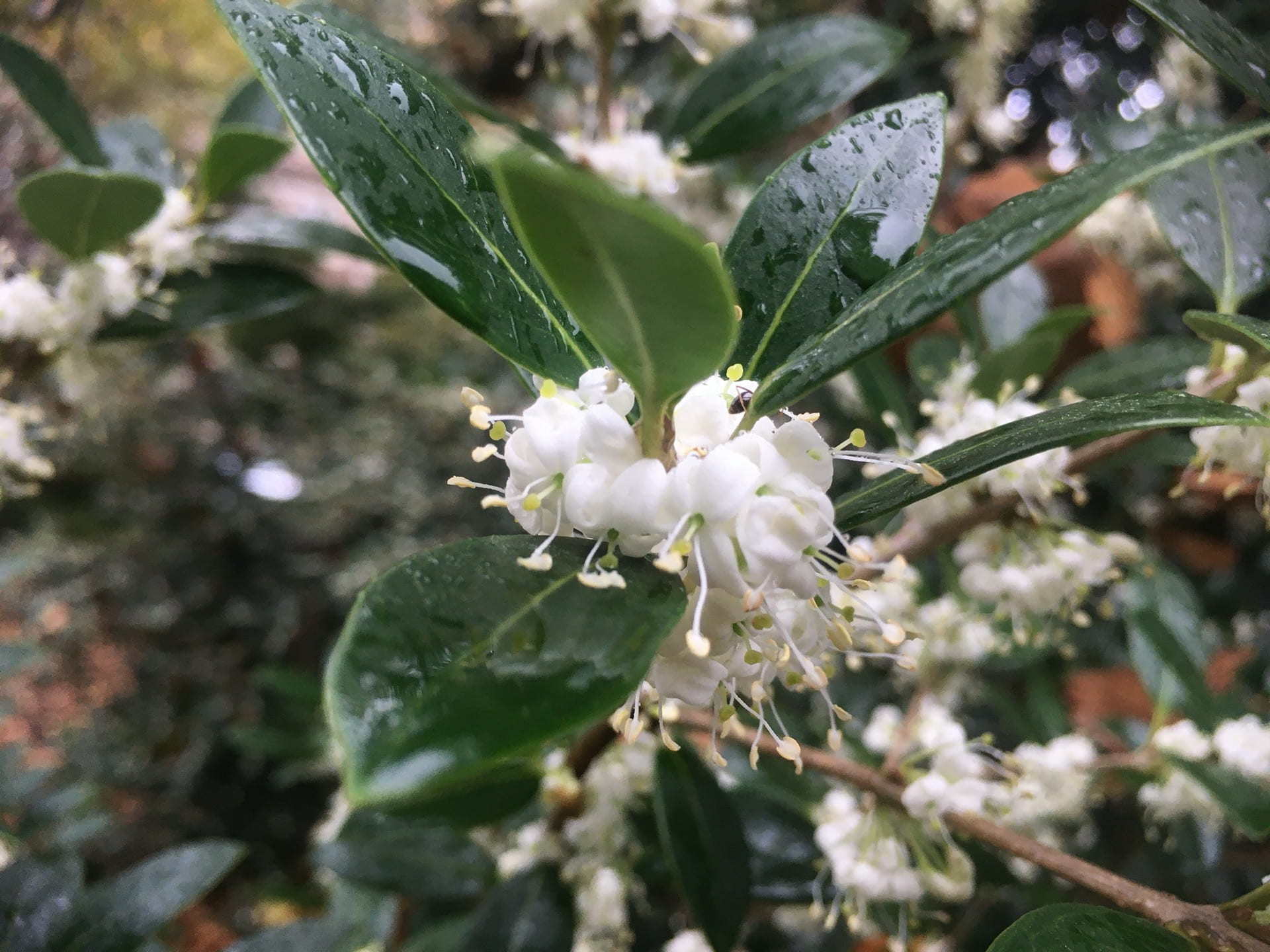 Don't judge a plant by its flowers, these small blooms of Osmanthus heterophyllus are the most fragrant in the park.