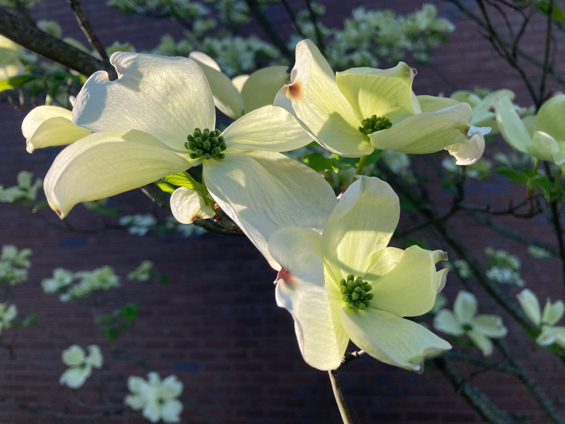 Flowers of Cornus florida, illuminated by April morning sunshine.