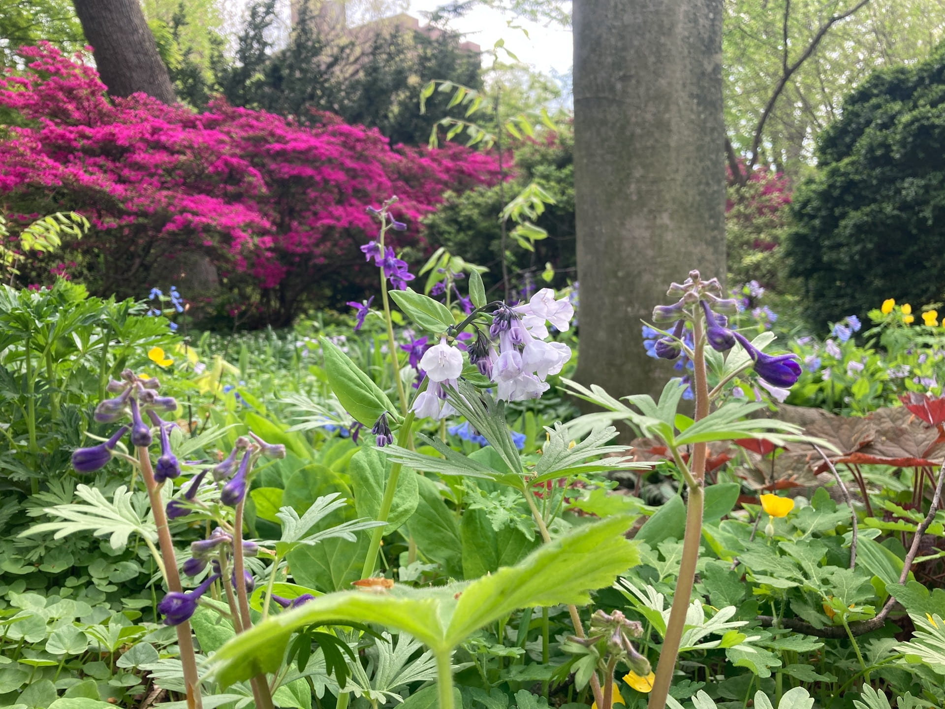 A mixture of native spring blooming plants, Delphinium tricorne, Mertensia virginica, and Stylophorum diphyllum, amongst a backdrop of azaleas.