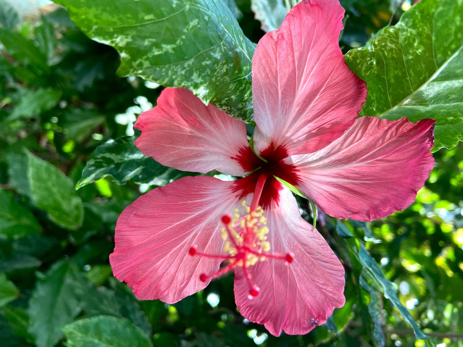 The bold pink flowers and variegated leaves of Hibiscus rosa-sinensis stand out.