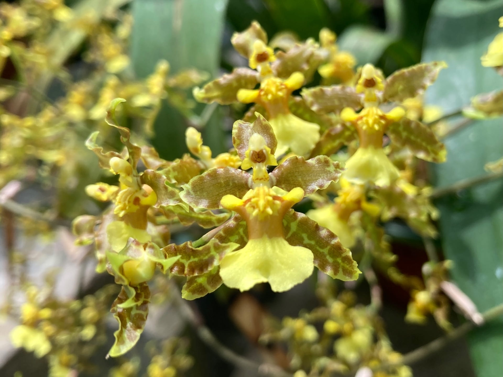 With an inflorescence of over five feet, the Oncidium orchid takes center stage in the Biology Greenhouse.