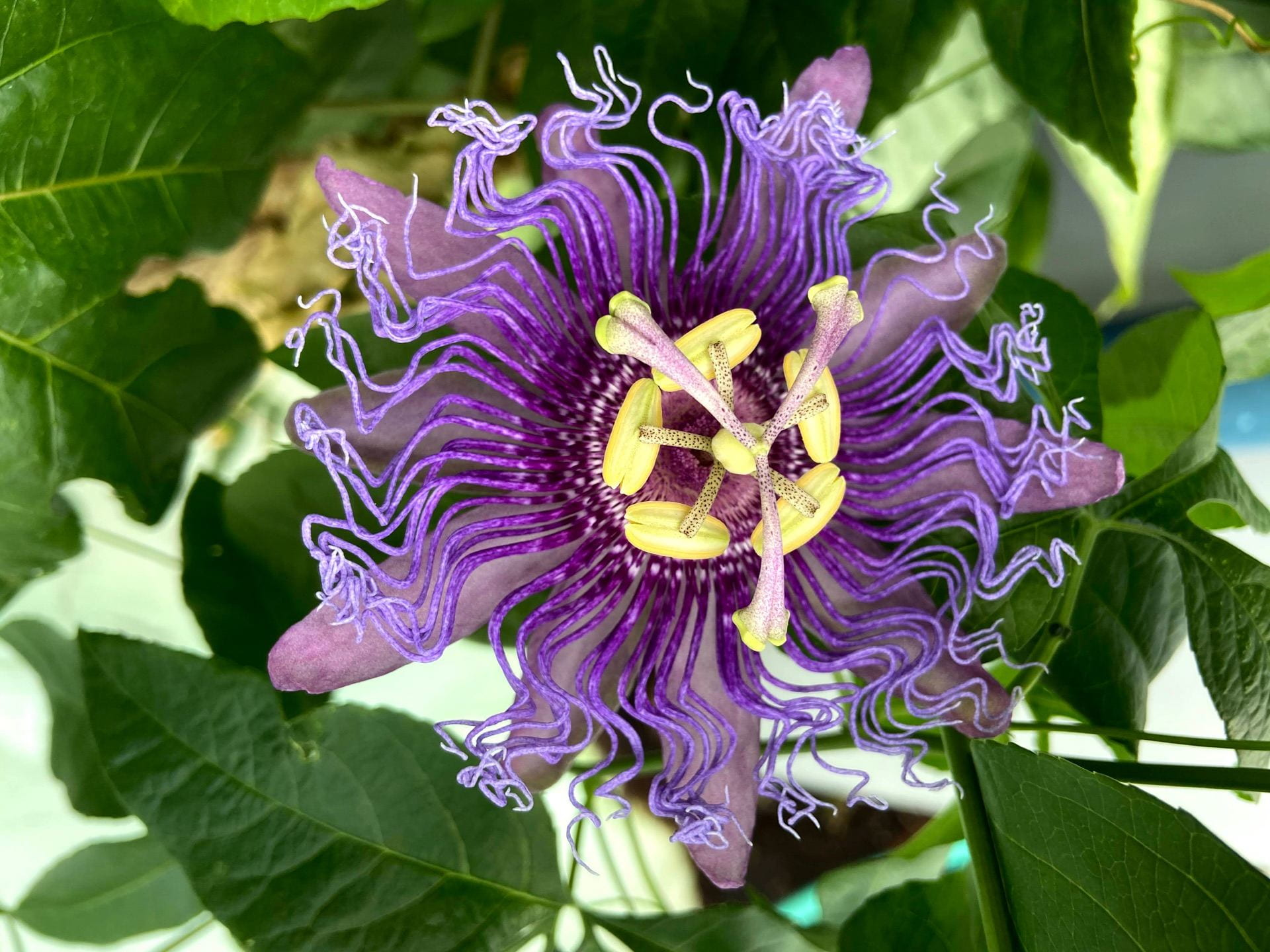 Passiflora incarnata, known as maypop, is a showstopper in the greenhouse.