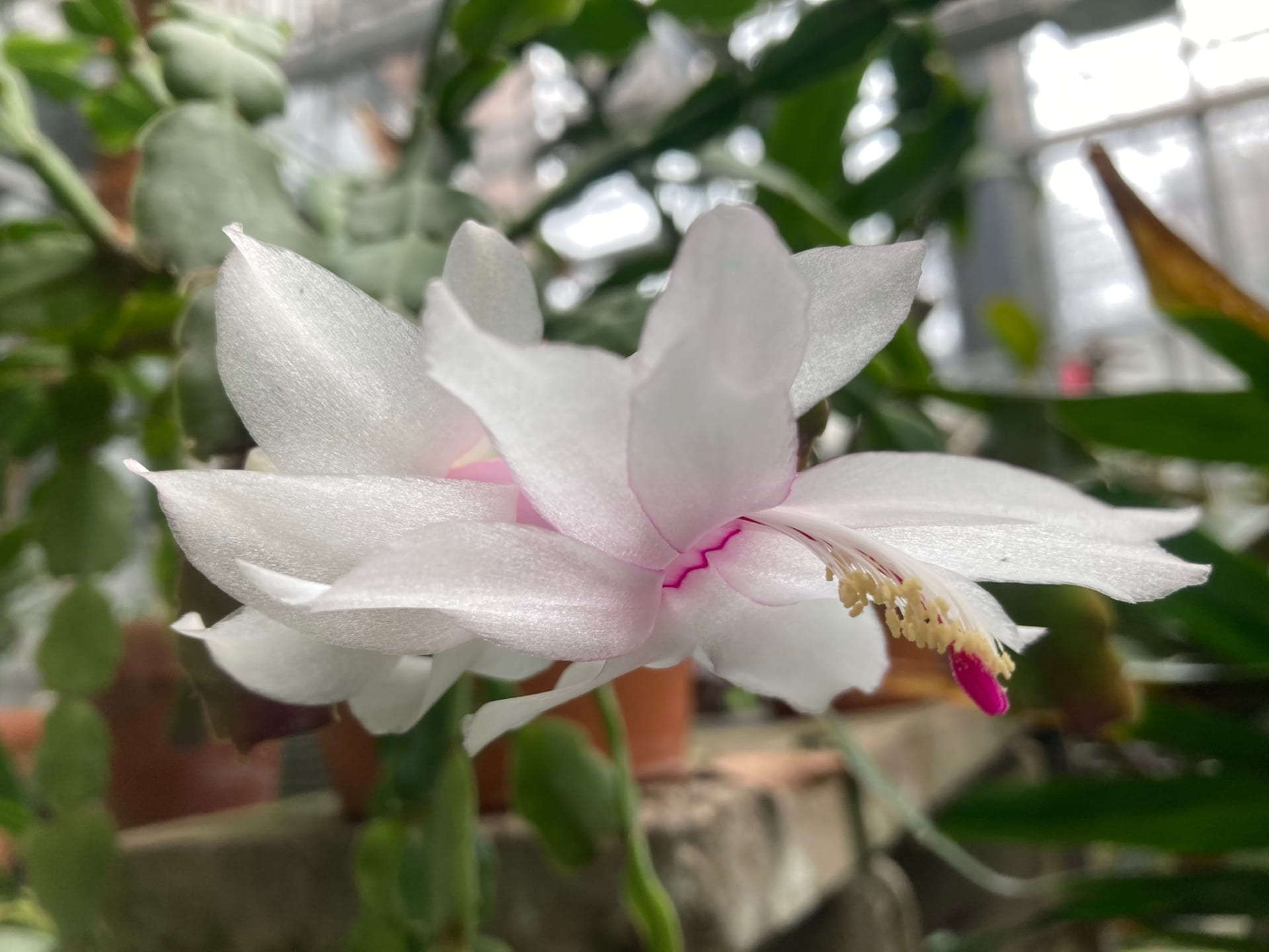 A tiered white flower of a Schlumbergera plant.