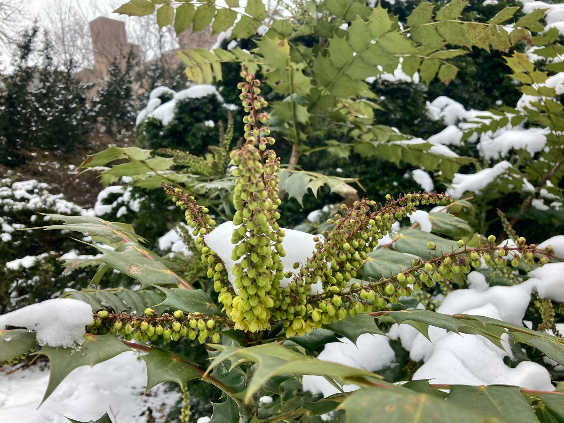 Mahonia x media getting ready to bloom.