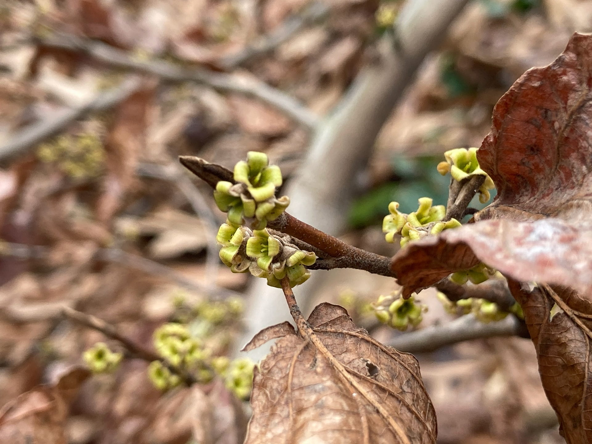 After the petals are gone, the sepals remain for the winter on Hamamelis virginiana.
