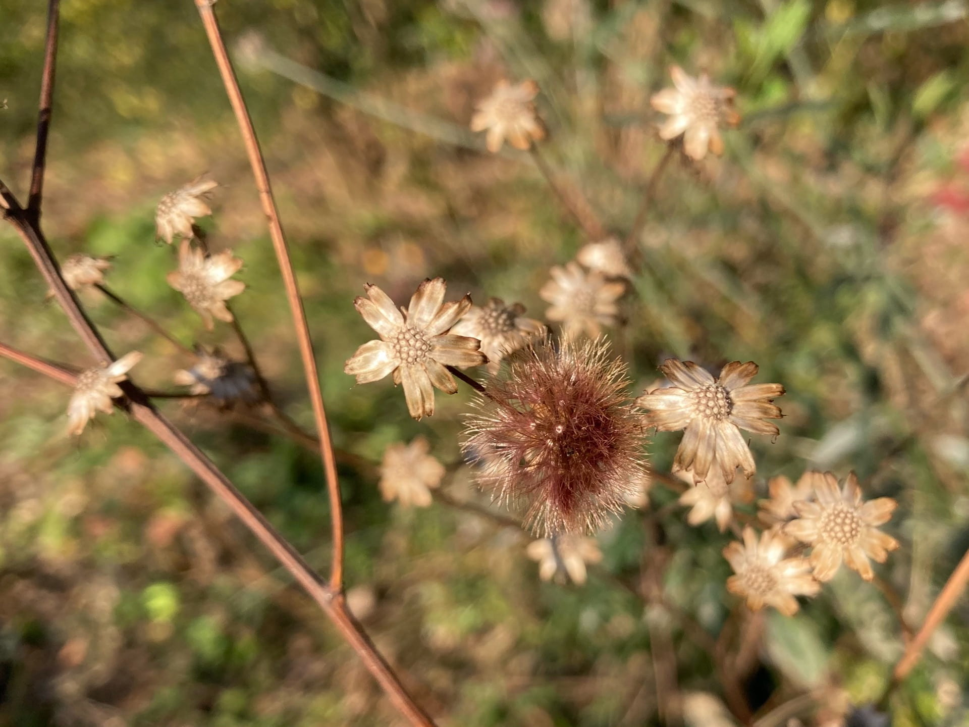 The seed heads of Vernonia noveboracensis look like small brown flowers themselves.