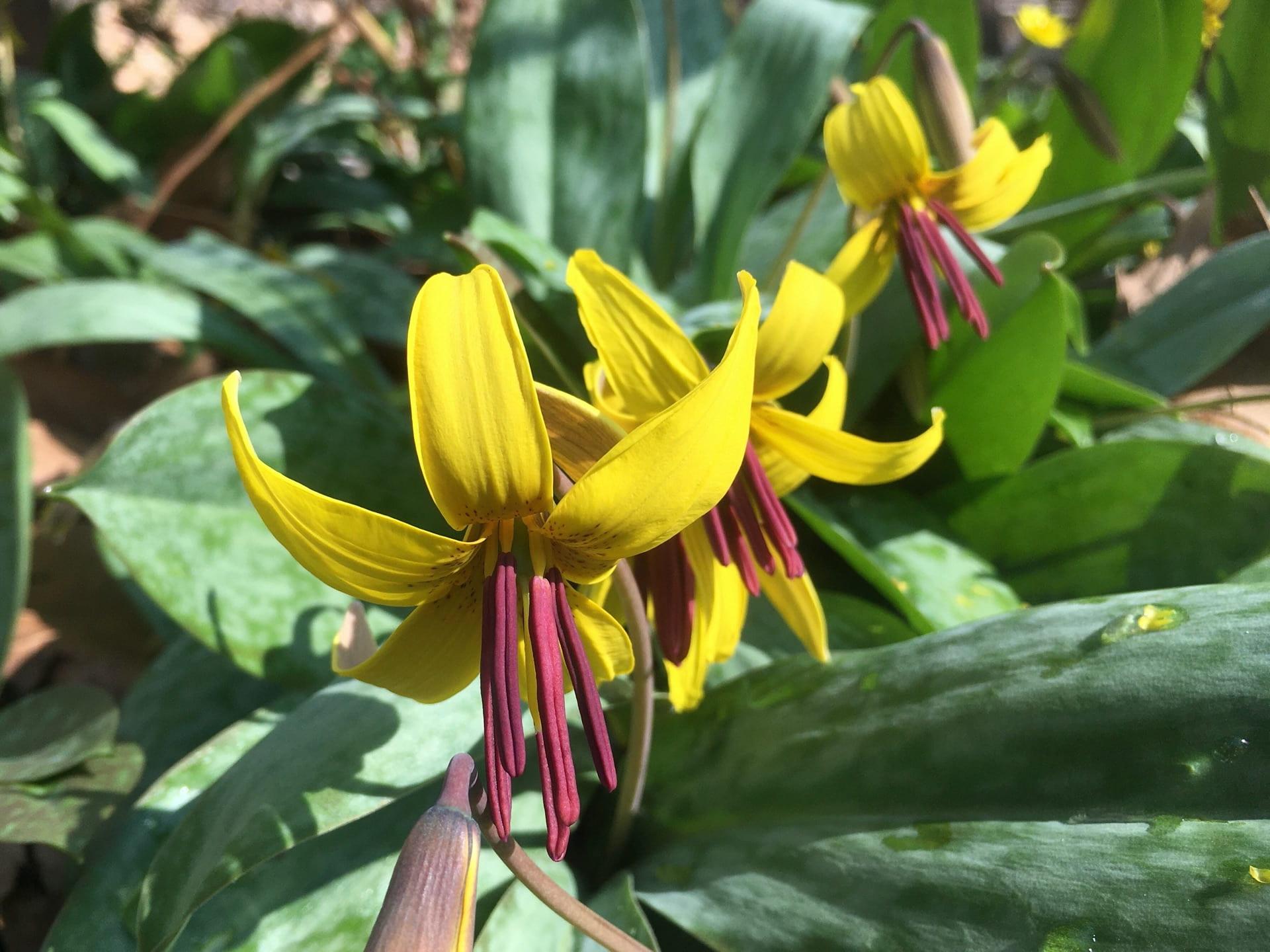 Erythronium americanum flowers look like springtime stars.