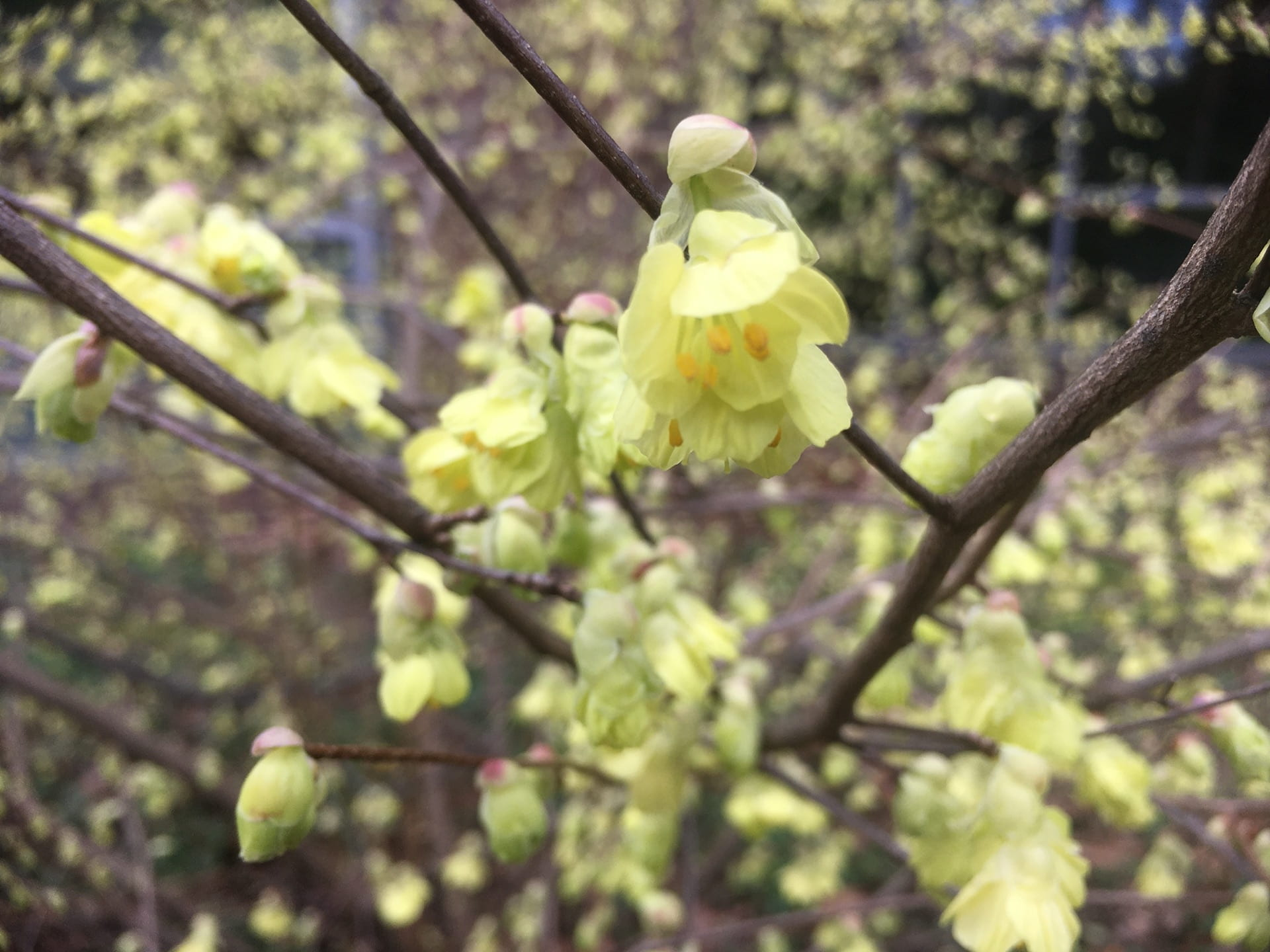 An up close view of the graceful Corylopsis flowers.