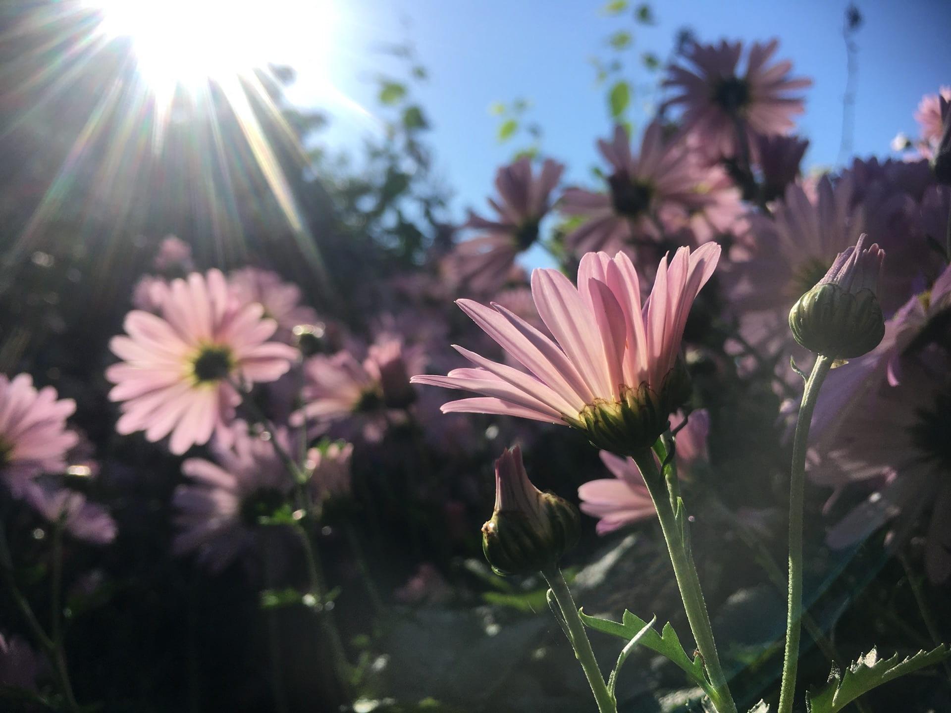 Chrysanthemum x rubellum 'Clara Curtis' reaches for the sunlight.