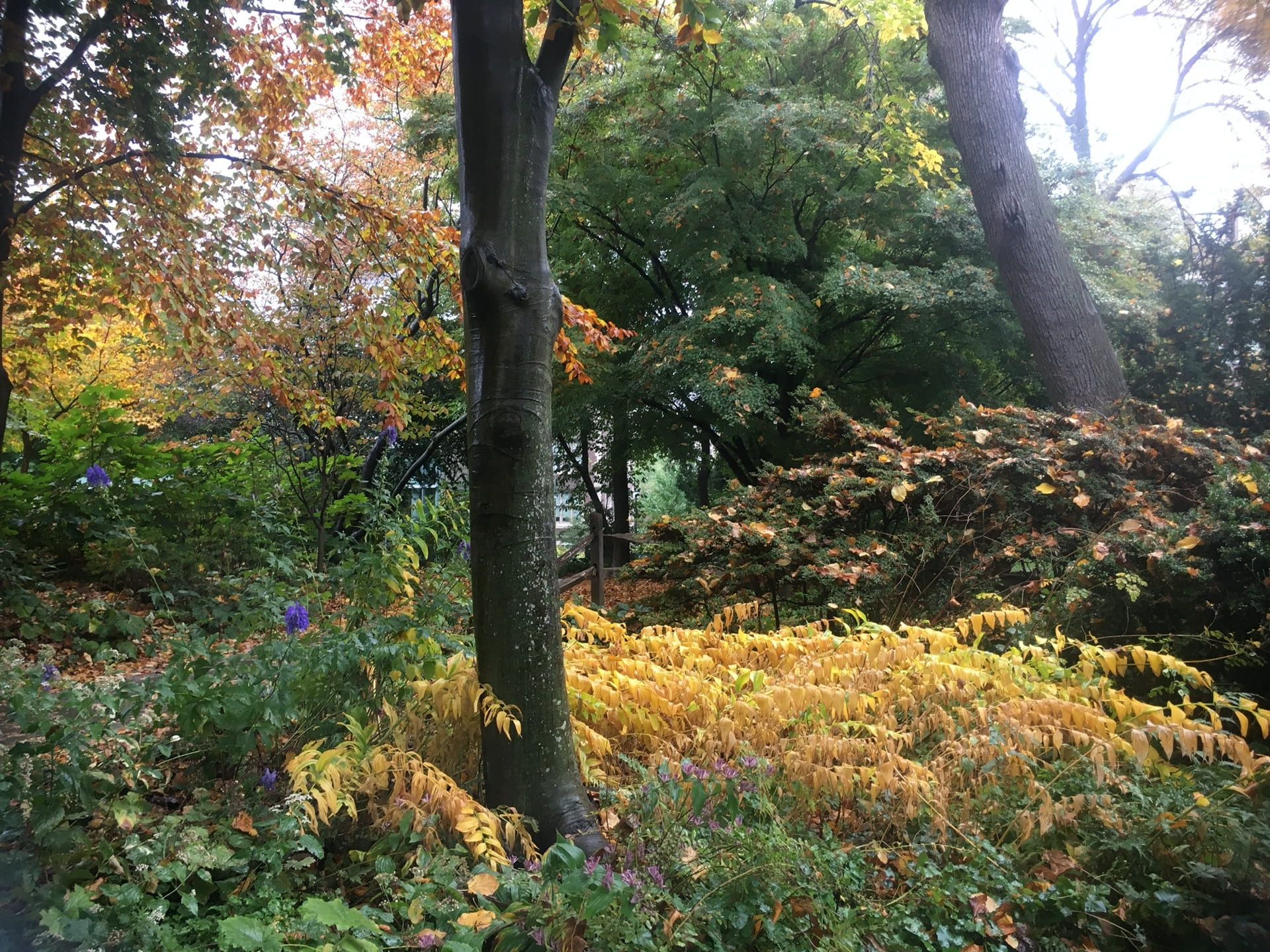 Fall color of Polygonatum envelops an American beech, Fagus grandifolia.