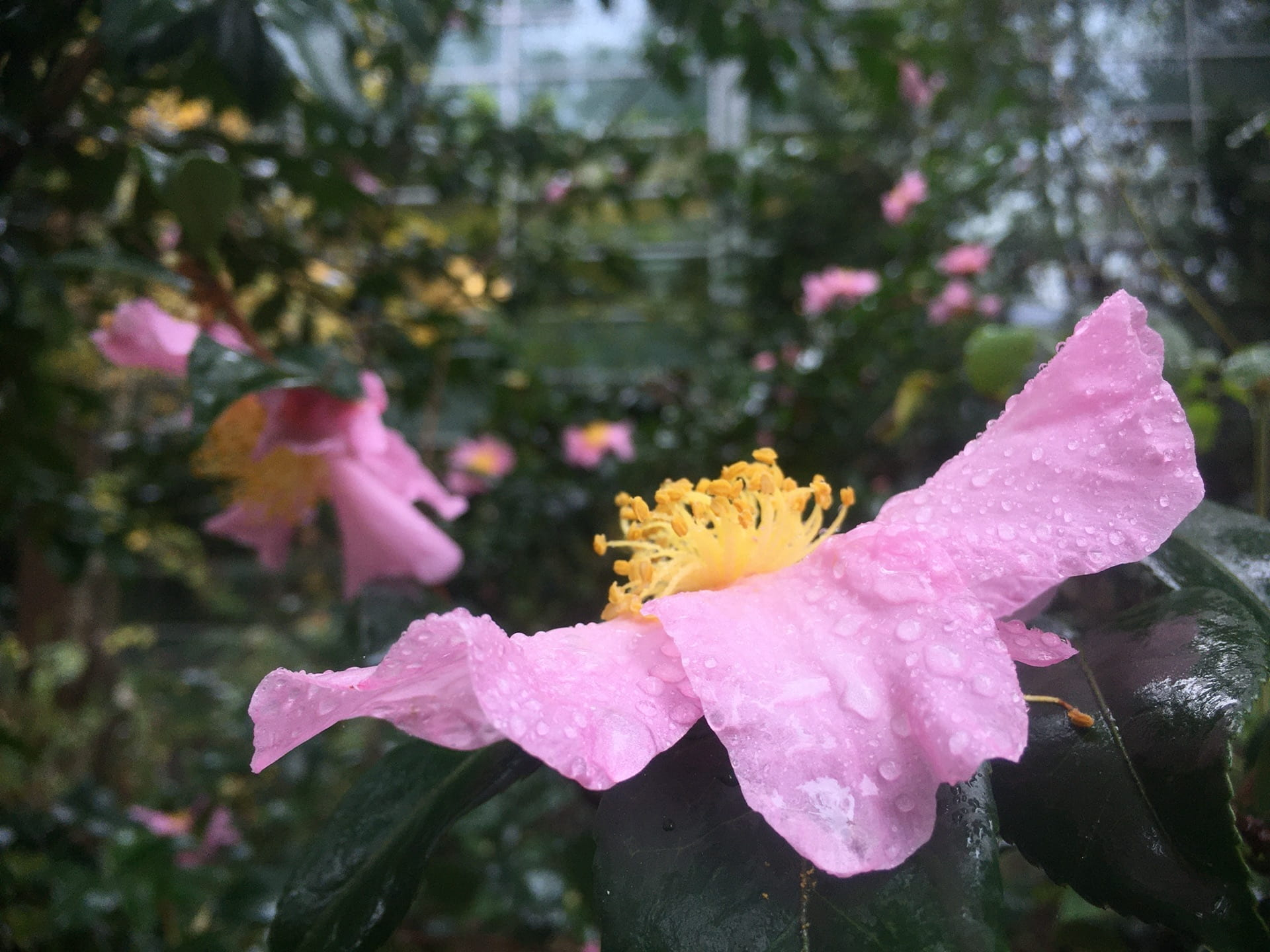 Raindrop covered flowers of Camellia sasanqua light up a gray fall day.