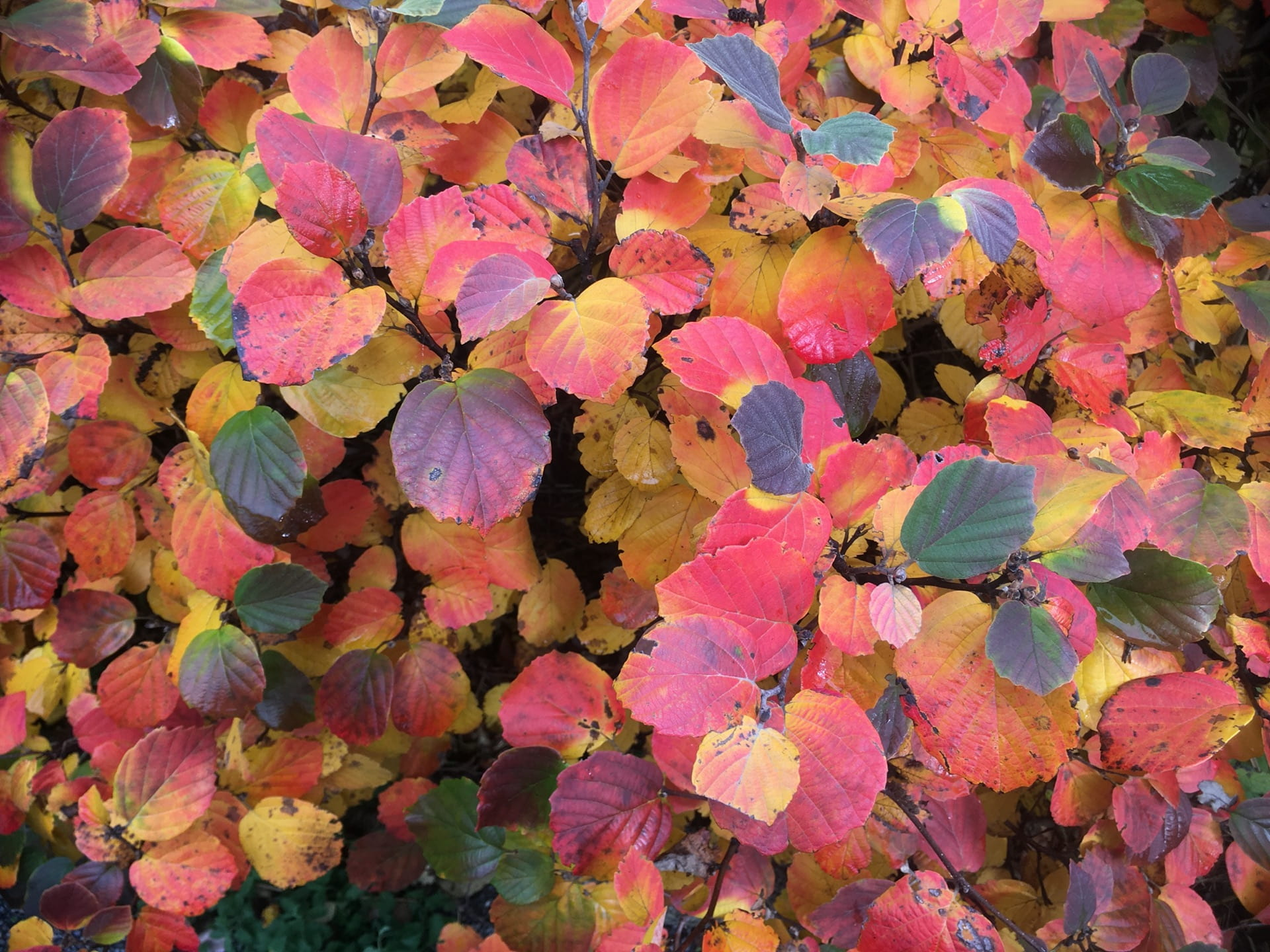 Every color of the rainbow is represented in the foliage of Fothergilla major.