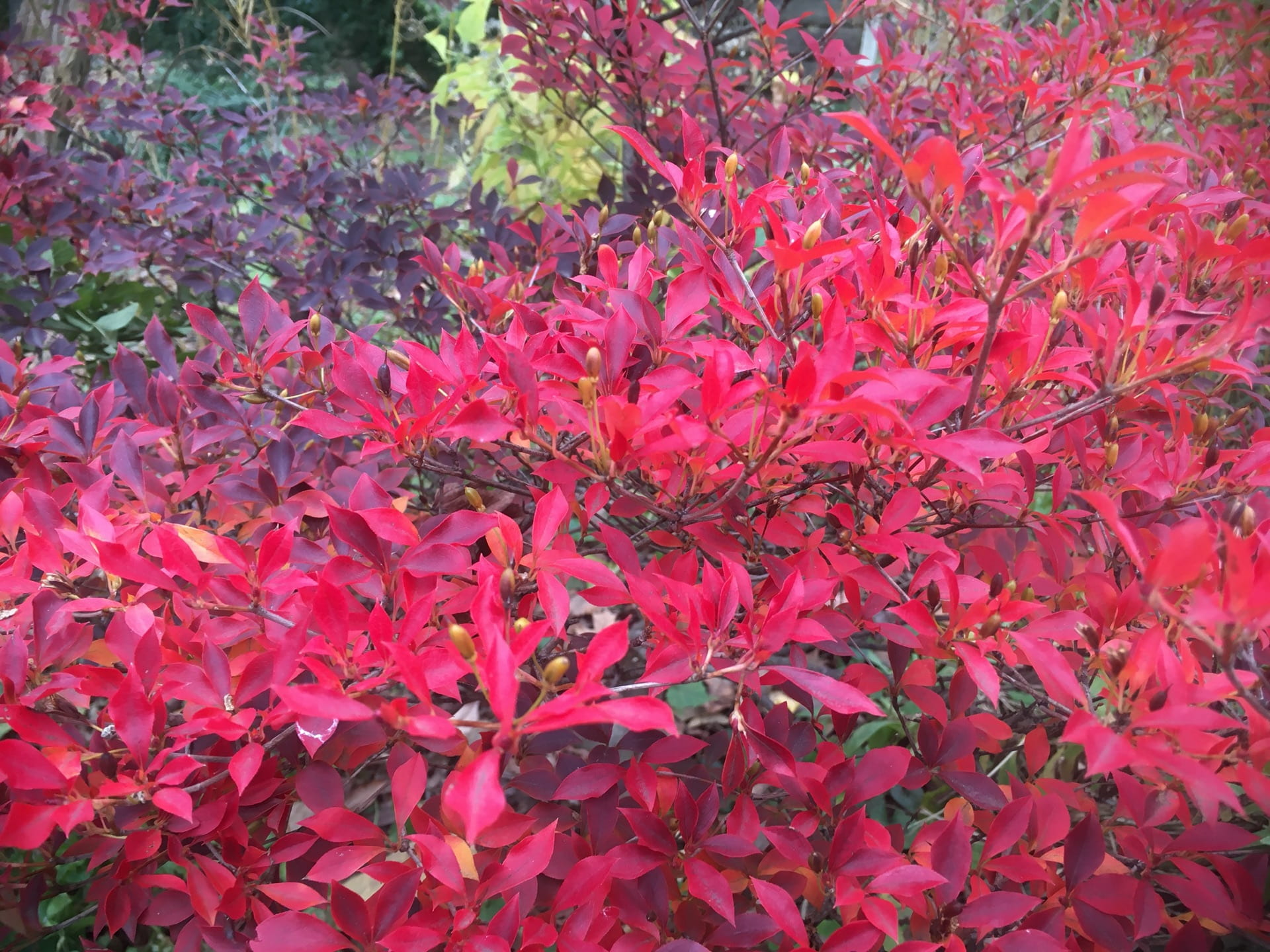 The foliage of Enkianthus perulatus putting on a fiery show.