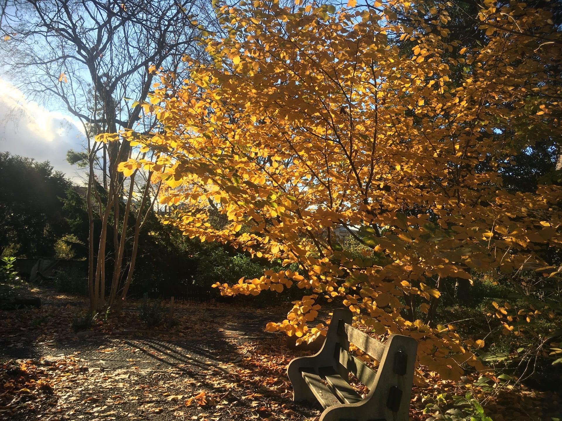 A good spot to soak up the sun and enjoy the fall color of Hamamelis mollis.