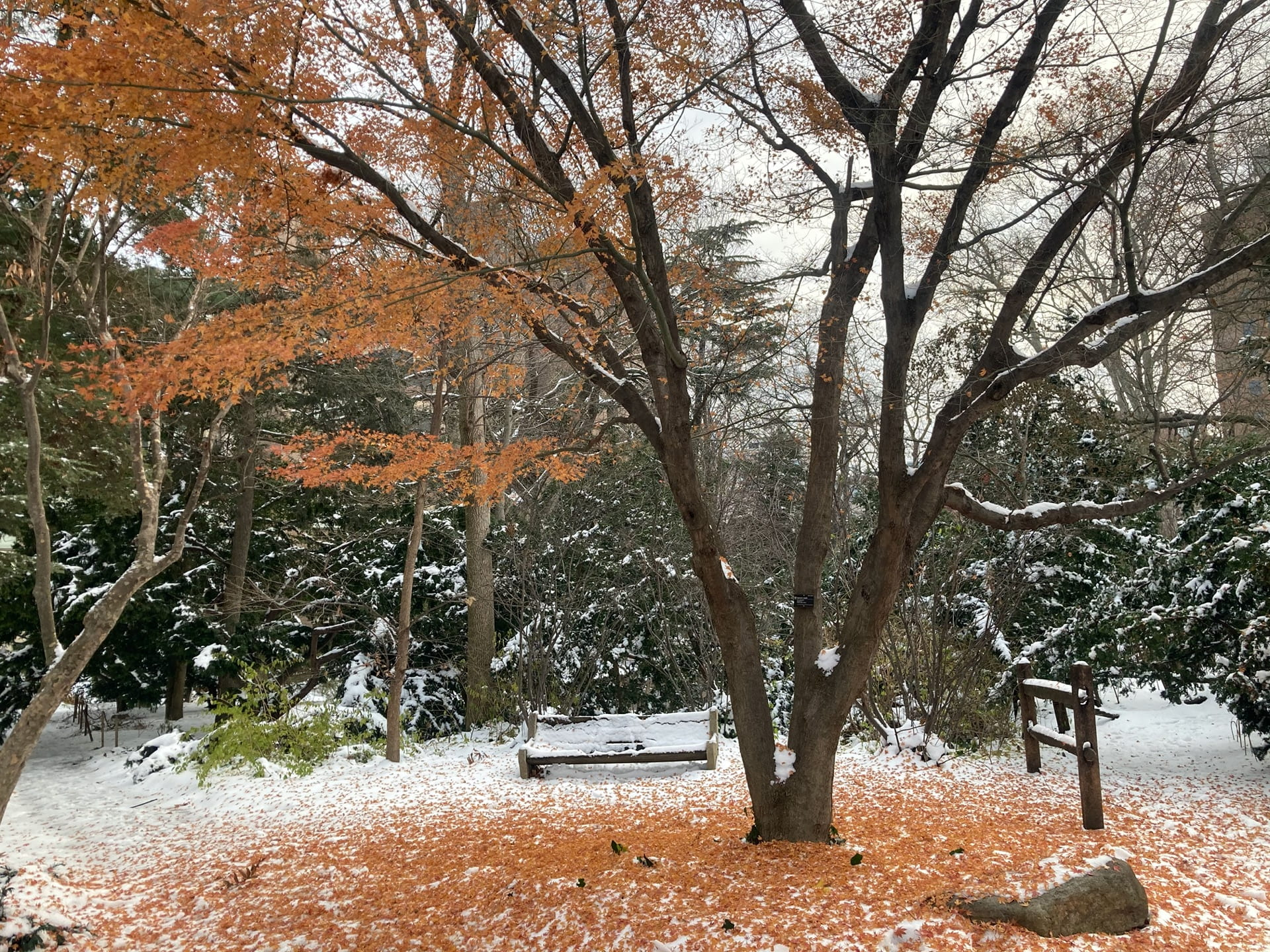 The fallen leaves of Acer palmatum decorate the snow with a perfect orange circle.