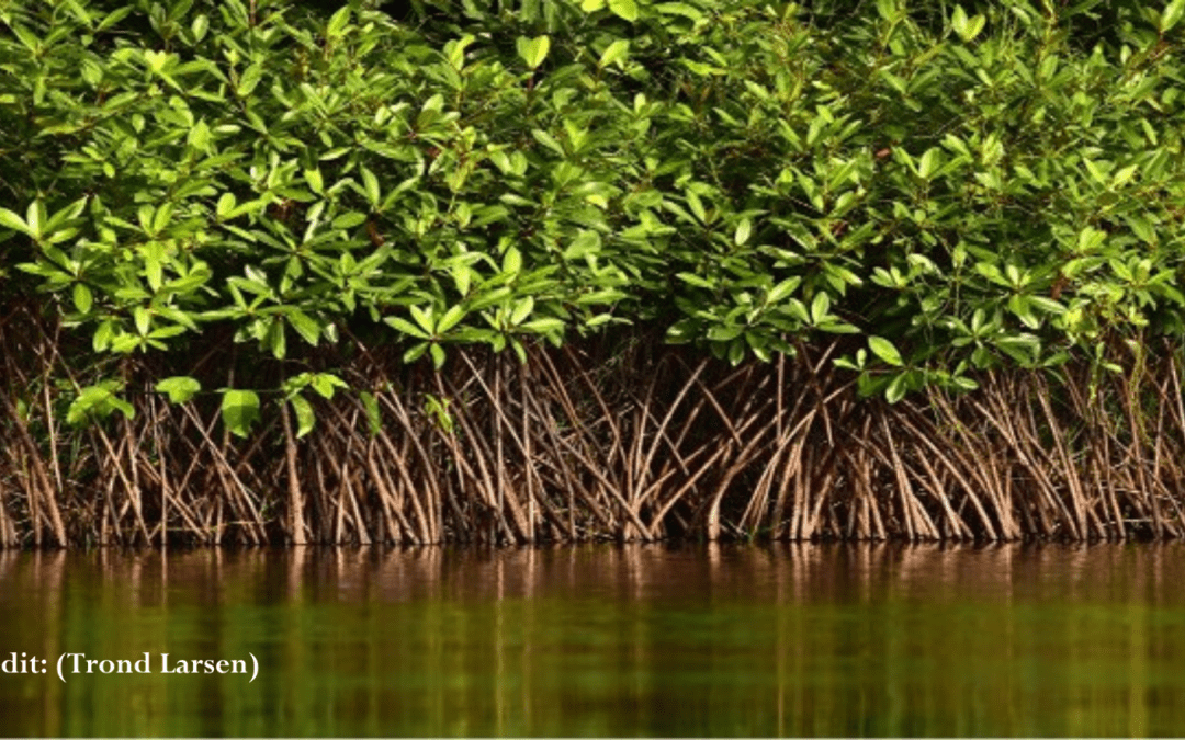 Exploring Mangrove Biomimicry for Desalination of Water