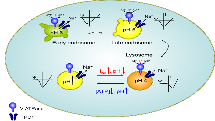 TPC1 lysosomal voltage-gated Na+ channel
