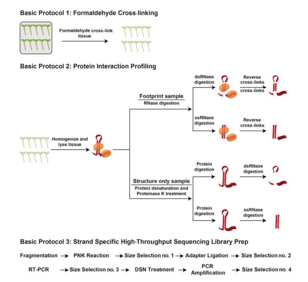 PIP-seq is a technique to learn about RNA secondary structure and protein binding globally
