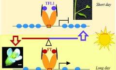 Competotion FT- TFL1