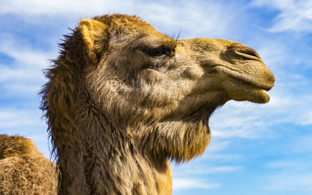 OH Digest: Healing properties of camel antibodies, an experimental Ebola vaccine, and other health news