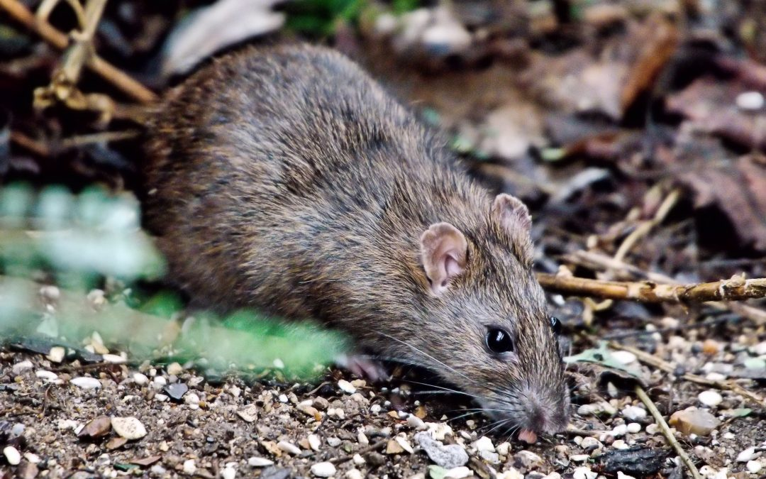 Rats live in close proximity to humans, so rat remains hold clues to former humans' lives. (Photo credit: Flickr Creative Commons/Airwolf)