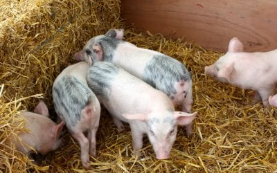 OH Digest: A fatal pig virus, floating farms, and more