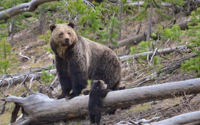 OH Digest: Protection for grizzlies, mosquitoes carrying plastic, and more