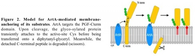 cell-surface-anchoring-mechanisms