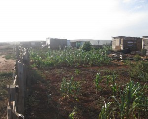 These people made a garden because they don't have money to buy the vegetables. - Masibulele Siqabu