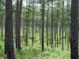 piney wood