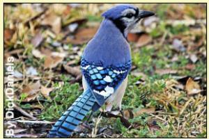 Ashleys Blue Jay