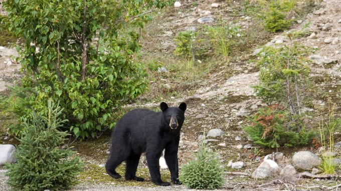 American Black Bear, Quebec Canada