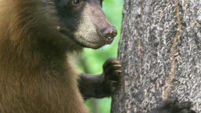 American Black Bear Standing by Tree