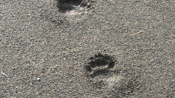 Black Bear Tracks in Sand