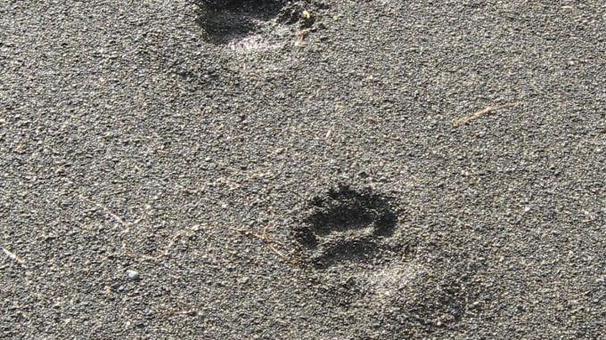 Black Bear Tracks in Sand